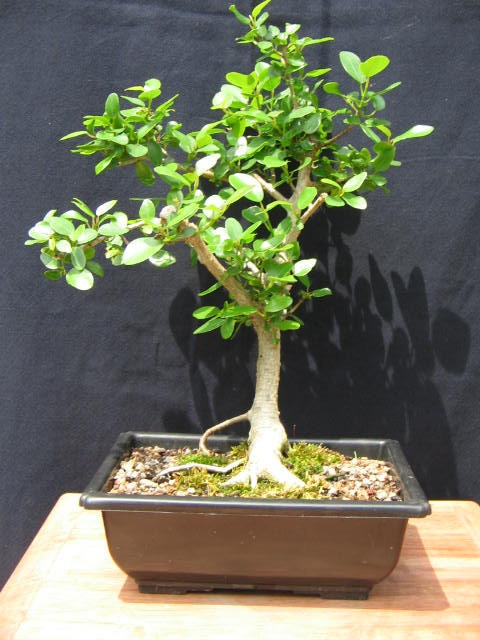 bonsai forest ficus benjamina variegata ficus. Black Bedroom Furniture Sets. Home Design Ideas