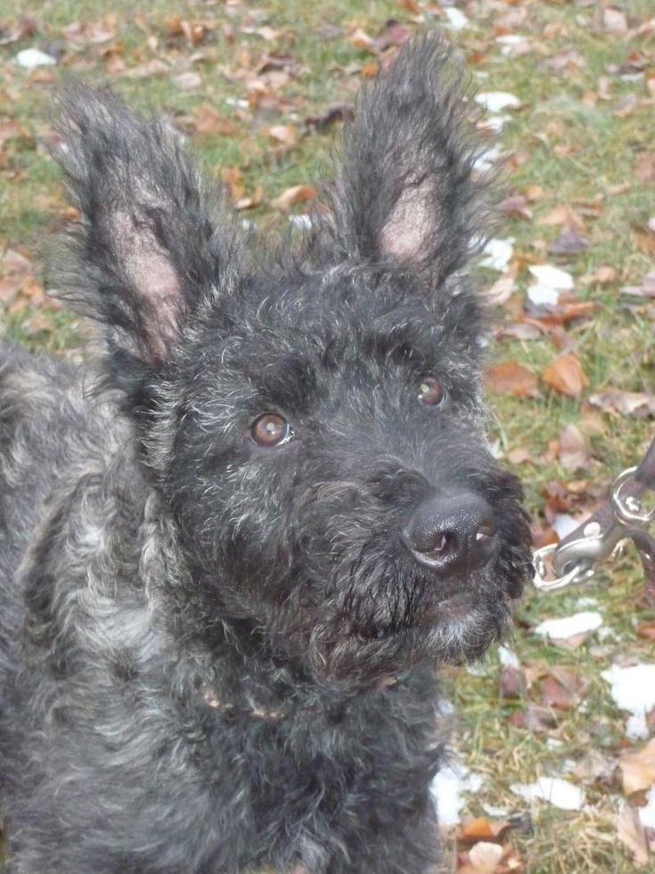 rough coat dutch shepherd  | Rough Coated Dutch Shepherds