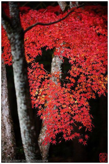 Red maple in Shodensan-so villa gardens, Uji, Kyoto, Japan