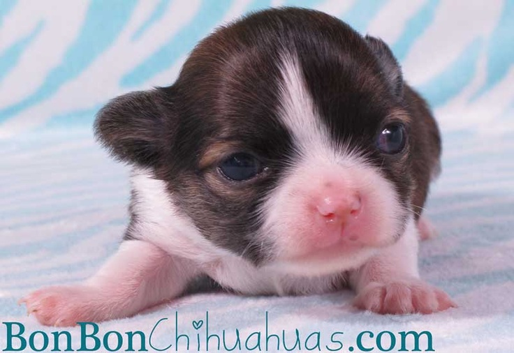 Carson at 2wks. Stilll so in love with this gorgeous puppy!