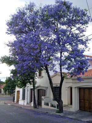 purple of the jacarandas