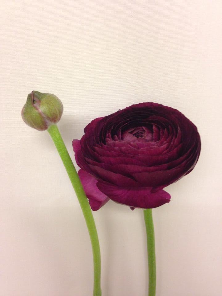Norsk navn: Ranunkel Botanisk navn: Ranunculus asiaticus 'Cloony'
