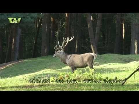 Wild Peers: Edelhert bronstperiode - Red Deer rut - YouTube