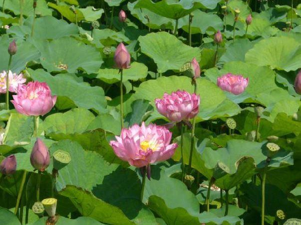 관곡지의 연꽃
