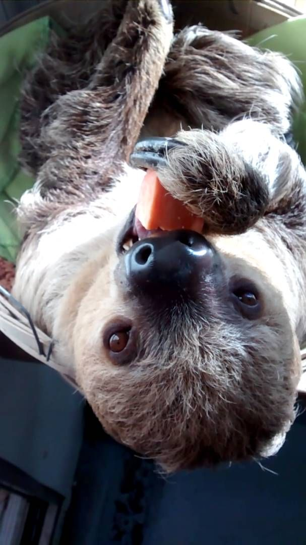 Sloth eating a sweet potato https://youtu.be/DNv6Ir9oZlY