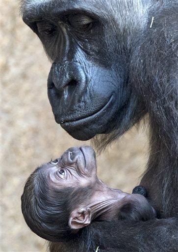 Gorilla mama holds her newborn baby