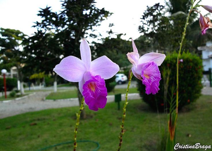 Orquídea bambu – Arundina graminifolia - Orquídea terrestre com flores em tom de lilás-rosada com o labelo púrpura ...