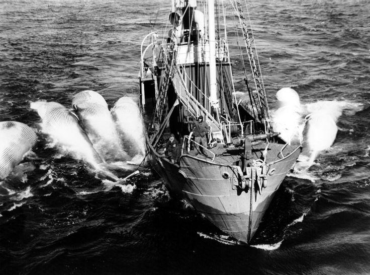 Bilderesultat for hvalfangst