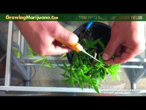 Growing Marijuana - How To Trim Your Weed For Larger Yields http://growingmarijuana.com/