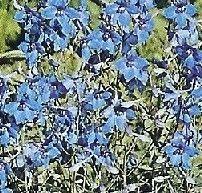 Delphinium grandiflora 'Blue Butterfly' (Ridderspoor), Ridderspoor kent enorm veel soorten, met als overheersende bloemkleur blauw. De hogere soorten hebben een steuntje in de rug nodig. Ridderspoor heeft een statige, opvallende bloeiwijze en is als borderplant zeer geliefd. De klein blijvende Riddersporen zijn geschikt voor in de rotstuin waar ze echte blikvangers zijn. Standplaats: zon.    De bloeikleur is blauw, de bloeitijd juni-september. Hoogte: 50 c