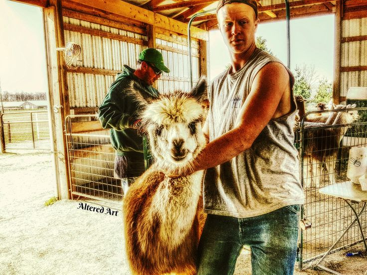 Spring shearing at an alpaca farm | taken at Outstanding Dreams farm in Caroline County, MD