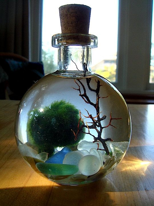 "Marimo in Mini Globe Bottle  - $22.00 Low light, low maintenance underwater moss ball ""pet"" moves in response to light"
