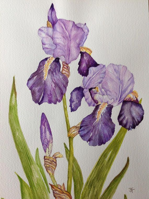Watercolour Painting Purple Bearded Iris Watercolour Flowers