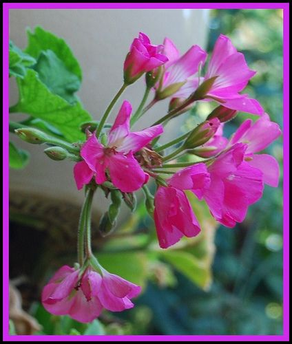 How to Grow Geranium in 10 Steps