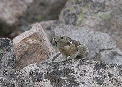 The small, alpine mammal has been at the center of a prolonged debate over whether to list it under the Endangered Species Act. If the pika ultimately wins endangered status it would be the first species to do so with climate change cited as a major factor contributing to its decline.