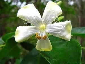 native frangipani australia - Bing images