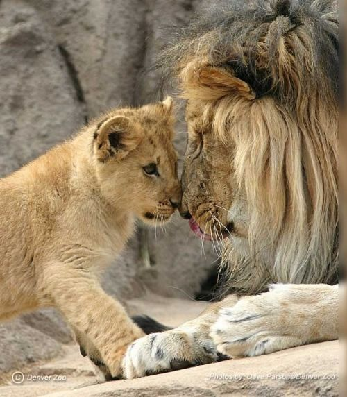Lion cub and dad (viaDave Parsons: Zoo photographer | Westword)