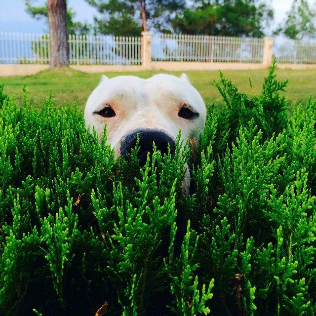 #Dogo #Argentino. I watch you!
