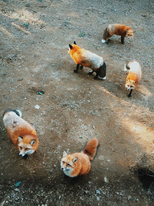 Semi-wild foxes gather to wait for visiting humans to feed them.