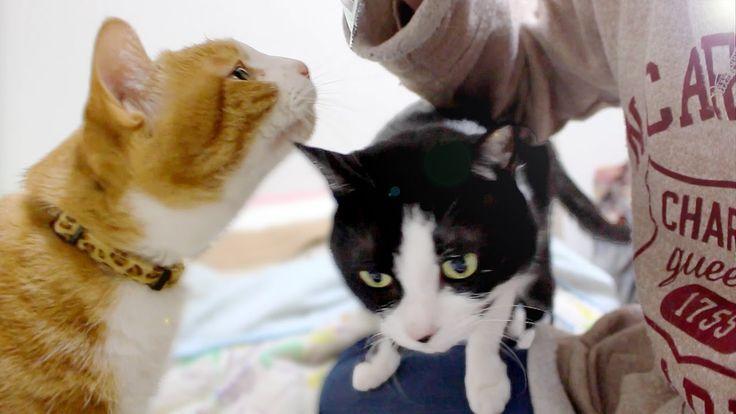 """かわいい2匹の猫♥おやつがキタ~大好きな""""クリスピーキッス""""を食べるヨ♪ - Cute cats eat favorite snacks fro..."""