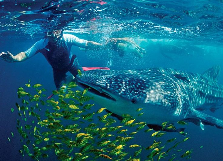 From early winter to late spring, whale sharks swim in the Sea of Cortez.