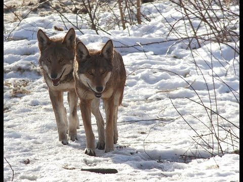 White Wolf : Red Wolves Romp in the Snow and Have Some Fun With Camera (Video)