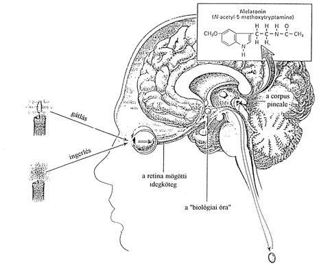 """A Melatonin hatóanyaga a melatonin, melyet az agyban található ún. tobozmirigy termel az alvás ideje alatt.A szervezet teljes regenerálódása a mélyalvási szakaszok alatt következik be, s sokkal inkább az adott szakaszok """"mélységétől"""", mint """"időtartamától"""" függ, jóllehet, a – legalább – napi 5 órai alvásra a szervezetnek feltétlenül szüksége van. A melatonin egyedülálló módon segíti az alvászavarban szenvedő egyéneket, hogy az alvásciklusuk beálljon a normál szintre."""