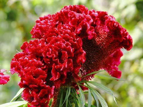Цветок целозия гребенчатая