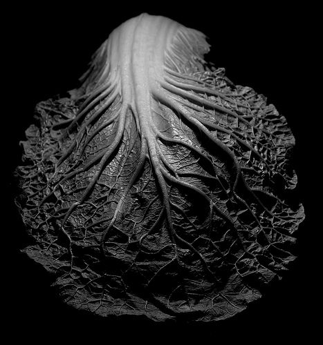 cabbage leaf | winter-vegetable: cabbage . Winter-Gemüse: Kohl . légumes d'hiver: chou | photography black & white . Schwarz-Weiß-Fotografie . photographie noir et blanc | Photo: Edward Weston |