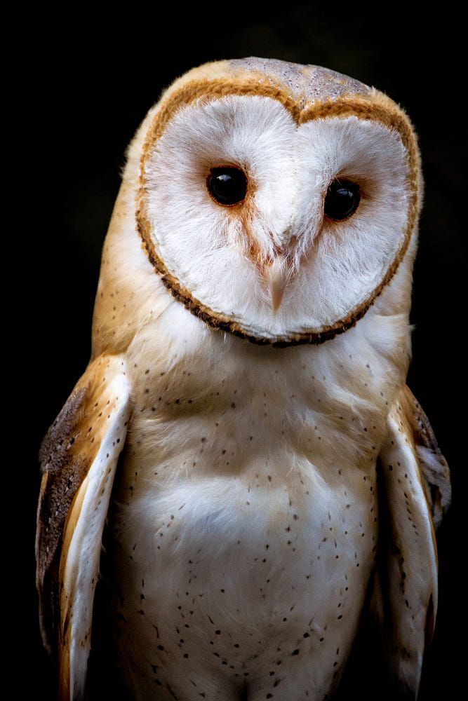 • Barn Owl • by Kurt De Meulemeester on 500px