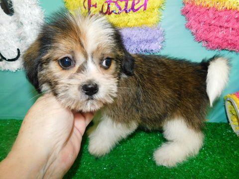 Beagle Puppy For Sale In Hammond In Adn 69421 On Puppyfinder Com