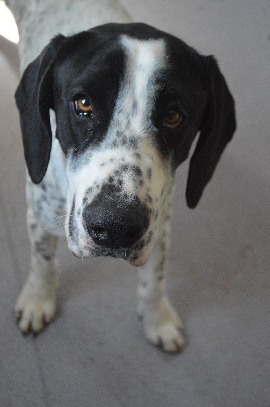 Meet Maxi the 2 year old #englishpointer and #bullarab cross! He's grown out of his mischievous adolescent period and is now a full grown adult ready to find his home. Maxi is great with other dogs and would love a playmate. He also enjoys the company of people so a big family suits him just fine. If you would like to introduce Maxi to your family or dog, you can arrange a meet and greet at #Townsville Animal Care Campus (ID 807459). #dogs #rspcaqld #adopt #cutie #foreverhome