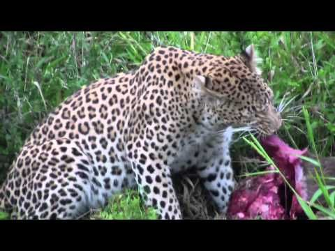 Meet Sandile, Shamwari's Famous Leopardess