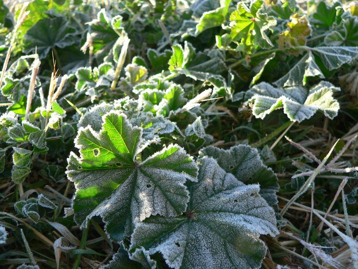 Frost on the Mallow from the first year @ Savour Soil Permaculture