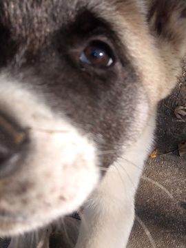 Litter of 4 Akita puppies for sale in FREEPORT, NY. ADN-51963 on PuppyFinder.com Gender: Female. Age: 14 Weeks Old