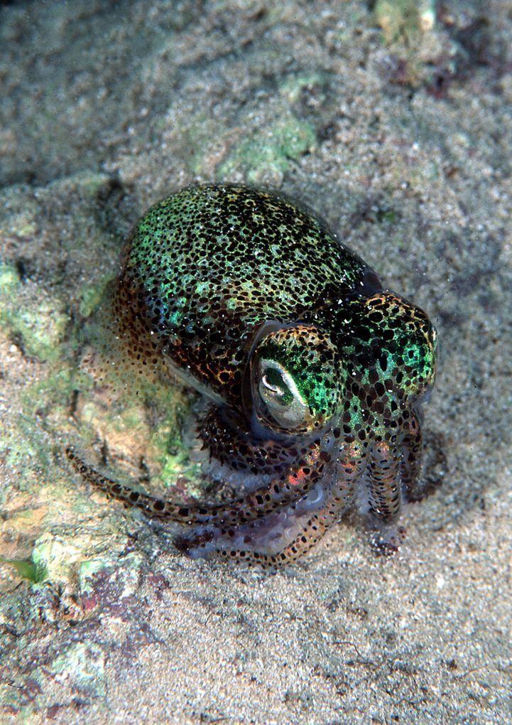 Euprymna Tasmanica is one of about ten species of Bobtail Squid