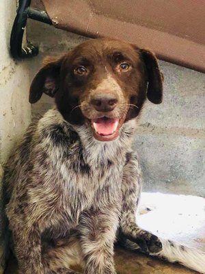 Adopt Roscoe on Dog adoption, Australian shepherd