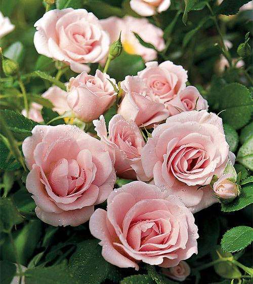 Ground cover roses, super hardy, produces all summer long!