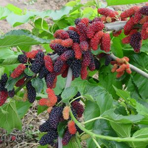 How well I know that these mulberries will stain a straw hat with a unique pattern...and, at those times, hats didn't seem important at all. Yum..purple teeth, too. Yum!