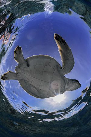 We can't help it — we're totally turtle obsessed here at Scuba Diving magazine. If you love them as much as we do, check out these amazing images and facts about these ancient marine reptiles! #scubadivingquotesfunny #ScubaDivingMagazine #ScubaDivingInfographicsandQuotes