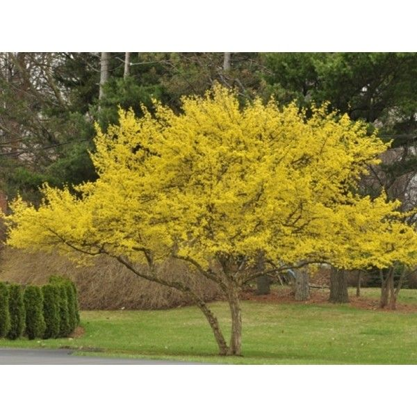 Cornus Mas to add by the back porch along southern lot line