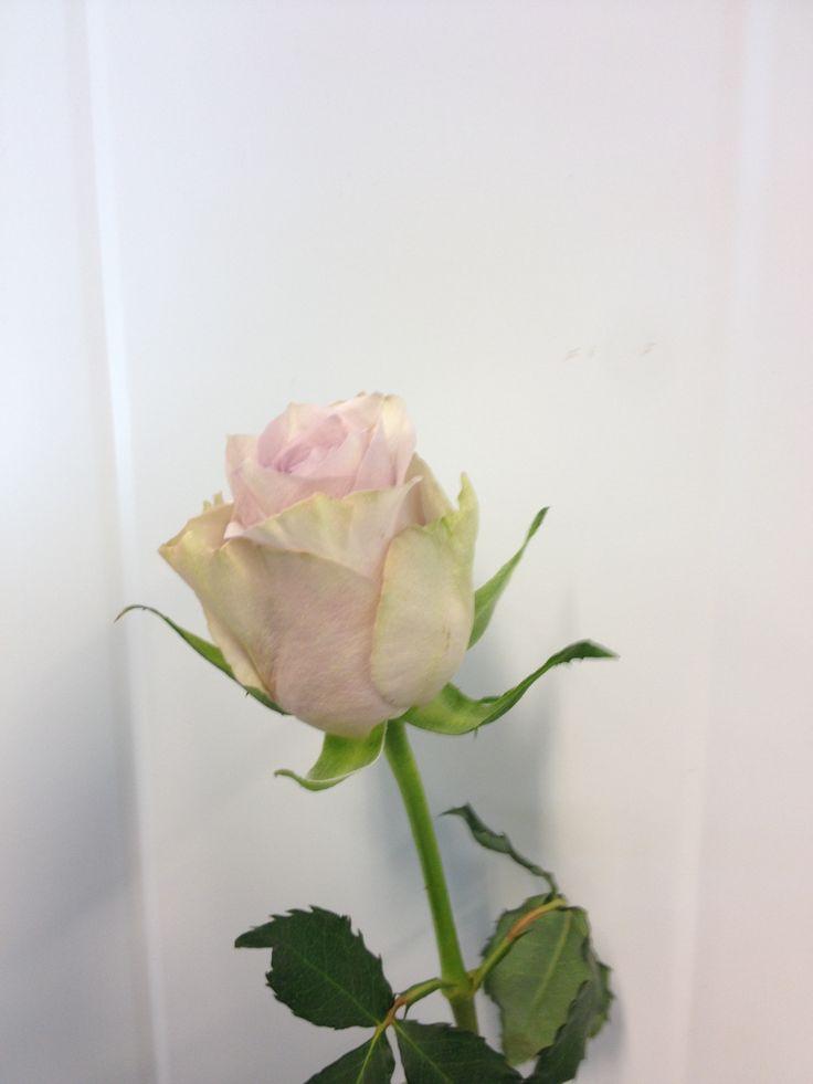 Rosa - Silverado - Rose - Lys lilla