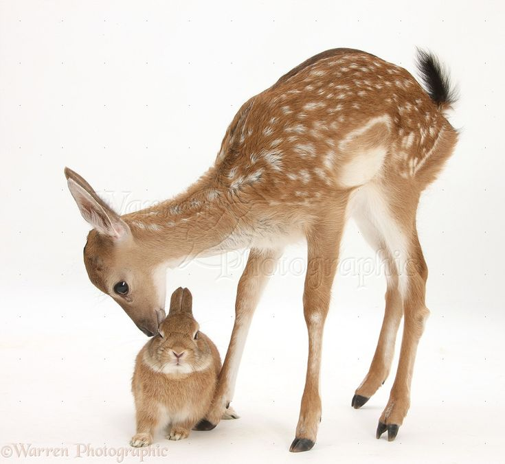 52 best deer images on Pinterest | Deer, Draw animals and Drawing ...