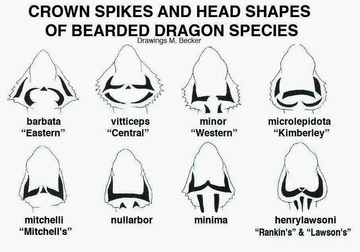 Beardie head shapes