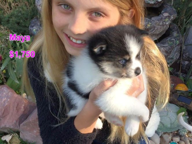 I can deliver her to the SLC area if I have received a $200 deposit to hold her. Maya is so cute and has 1 blue eye.  Her mom is an 11 lb Alaskan Klee Kai (Mini Husky ) and her dad is an 11 and a half lb Pomeranian.  Maya should mature around 11 lbs. She is very sweet and playful. She will be 7 weeks old tomorrow.  She will be vet checked and have her first set of puppy shots. You are welcome to come to Kanosh which is 2 hours south of SLC to see her in person.  You can see more pics of her…
