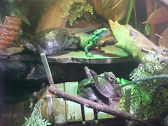 how to build a vivarium for chinese water dragon