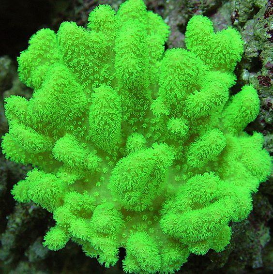 Pacific Aqua Farms Coral Gallery Neon Green Fiji Leather Page