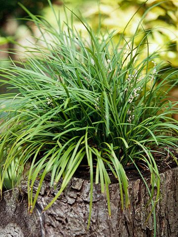 51 Best Images About Ornamental Grass On Pinterest