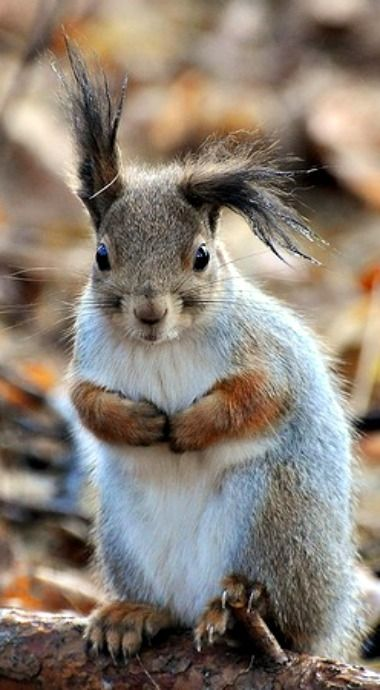 Ear bending is a specialized squirrel skill
