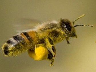 Arı Poleni